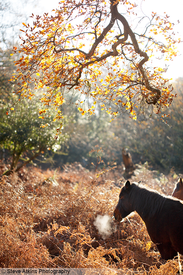 New Forest Pony taking a fresh breath of air in Autumn woodland, Hampshire, England, UK